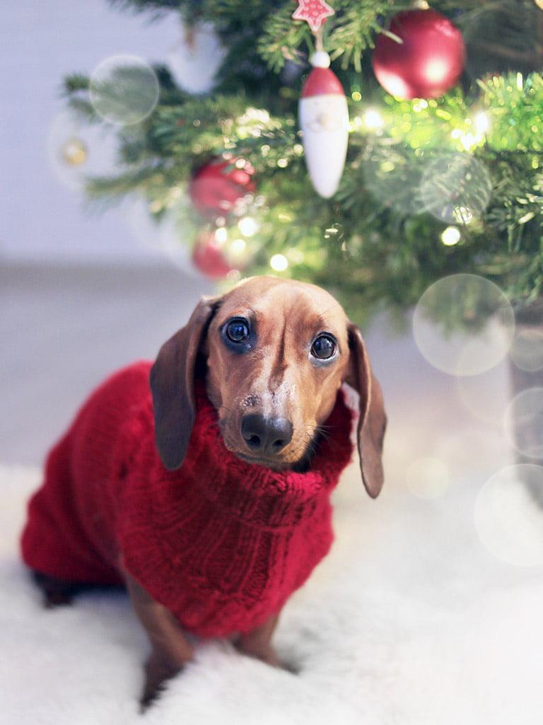 Hund under julgran bär tröja